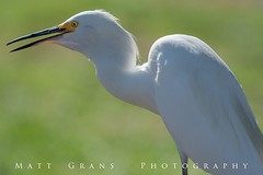 Swallowing (Matt Grans Photography) Tags: bird animal fowl aviary white egret eating