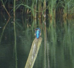Kingfisher (Toco67) Tags: nature birds gg wildlife lakes kingfisher ponds penningtonflash reserves waterbirds naturereserves