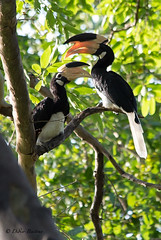 "Great Hornbill - Sri Lanka • <a style=""font-size:0.8em;"" href=""http://www.flickr.com/photos/71979580@N08/20721872712/"" target=""_blank"">View on Flickr</a>"
