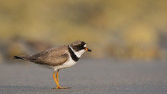 Semipalmated plover, Drake's Island (JEO126) Tags: