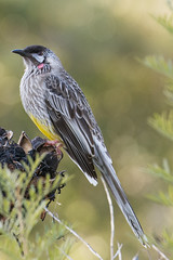Wattlebird (crispy1612) Tags: birds gardens botanical canberra act birdlife