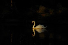 quiet swimming (sencharlie) Tags: swan shrine