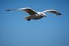 Herring Gull (SKAC32) Tags: bird wing feathers bluesky soaring gliding evileye herringgull yelloweye budleighsalterton eastdevon swengland sigma150600c