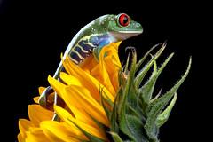 Red-Eyed Tree Frog, CaptiveLight, Bournemouth, UK (rmk2112rmk) Tags: uk macro amphibian frog bournemouth treefrog herpetology agalychniscallidryas redeyedtreefrog captivelight