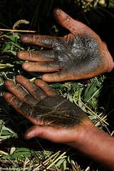 Chars on hand palms (f/4) Tags: india manali cannabis himachal tosh kullu hashish pradesh charas parvati