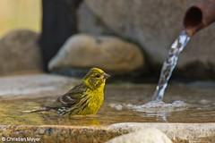 2015.08.06 - 2979 - Serin cini Bois Bas  (chmeyer51) Tags: serincini fringillidae oiseau fontaine serinusserinus