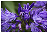 Blue is the Colour! (Audrey A Jackson) Tags: charity blue flower colour nature agapanthus fundraising walsall opengardens canon60d fourseasonsgarden 1001nightsmagiccity