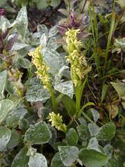 Friggjargras - Isländische Waldhyazinthe/Nördliche Waldhyazinthe (Platanthera hyperborea) - Laugavegur - Trekking auf Island