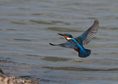 Kingfisher (vic_206) Tags: flight kingfisher vuelo alcedoatthis cubelles martinpescador blauet canon300f4lis canoneos7d