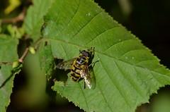Doodskopzweefvlieg (Myathropa florea) (Frank Berbers) Tags: insect hoverfly schwebfliege zweefvlieg