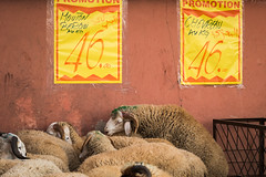 """""""Sheep supermarket"""" or """"The last one before the Eid al-adha"""", Marrakesh, Morocco Road  Trip, Day one (Claudio Accheri) Tags: road street travel color travelling animal sex canon religious moments sheep streetphotography roadtrip supermarket wanderlust adventure morocco arab 7d marocco marrakech marrakesh ontheroad viaggio travelphotography eidaladha 7dmarkii canon7dmarkii"""