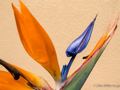 Bird of Paradise (DonMiller_ToGo) Tags: flowers nature flora florida g5 hdr flowersplants 5xp hdrphotography 5exposures millerville
