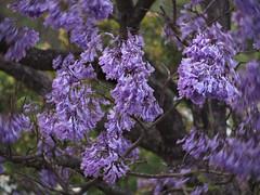 Jacaranda_windy_c (gnarlydog) Tags: flowers windy australia jacarandatree