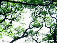Canopy (Cherry DV Agoyaoy) Tags: street city up canon scott photography photo university walk philippines powershot diliman quezon kelby sx50hs wwpw2015 shootshareinspire
