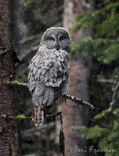 Great Gray Owl in snowfall