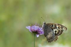 L'Hermite - Chazara briseis -  (michel lherm) Tags: papillons lpidoptres lhermite chazarabriseis rhopalocres