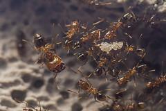 Pheidole pallidula (Sergi Roca) Tags: macro nikon hormigas ant huevos ants eggs hormiga fourmis 105mm d600