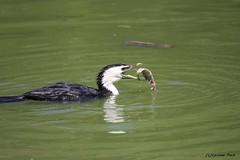 Cormoran pie (Passion Animaux & Photos) Tags: france bird pie little cormorant pied parc oiseau oiseaux cormoran melanoleucos villarslesdombes microcarbo