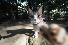 喵你一拳|E-M5 MarkII (里卡豆) Tags: cats cat olympus pro f28 貓 714mm em5markii em5mkii