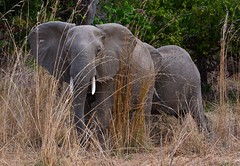 Behind some tall grass.... (One more shot Rog) Tags: africa elephant animal big wildlife ears safari huge trunk elephants trunks zambia herds africanelephant tusk tusker southluangwa tuska bushcamps onemoreshotrog rogersargentwildlifephotography
