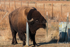 November 14, 2015 - A bison at the Rocky Mountain Arsenal finds a scratching post. (Tony's Takes)