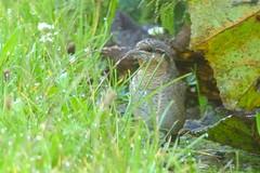 DSC_1904 Draaihals : Torcol fourmilier : Jynx torquilla : Wendehals : Northern Wryneck