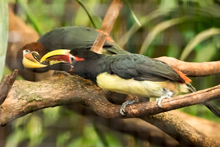 Green Aracaris
