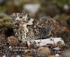 grayling butterfly (Neil Phillips) Tags: butterfly insect hexapod grayling insecta nymphalidae hipparchiasemele brushfootedbutterfly