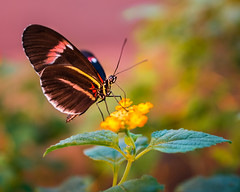 Sitting Pretty (PopsDigital) Tags: pink blue black color colour detail macro horizontal closeup butterfly landscape leaf wings legs details small butterflies insects spots tropical antennae postman detailed heliconiusmelpomene butterflyhouse nymphalid billpevlor popsdigital sonyslta77v