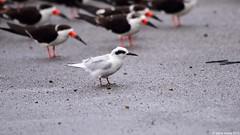 Forster's Tern (Sterna forsteri) (Steve Arena) Tags: nikon cameron d750 tern terns fote forsterstern sternaforsteri cameronparish calcasieushipchannel