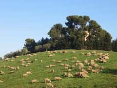 Torre de Sterlich di Spoltore (Pe) (roberto.pangiarella) Tags: abruzzo pecore pastori gregge spoltore torredesterlich