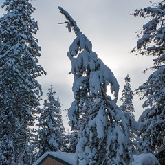 Bearing the Load (Ed Suominen) Tags: trees snow forest washington snowy snowstorm washingtonstate snowfall easternwashington inlandnorthwest