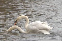 Shag! (Common Buzzard) Tags: park bird sex swans intercourse waterfowl heterosexual essex colchester muteswan
