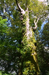 The Green Giant (rufftytufty) Tags: sky leaves moss branches ivy growth bark trunk tall height