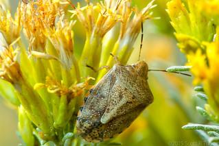 Shieldbug On Dying Goldenrod