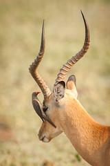 SK7_0887 (glidergoth) Tags: park south safari national impala zambia luangwa aepycerosmelampus redbilledoxpecker buphaguserythrorhynchus