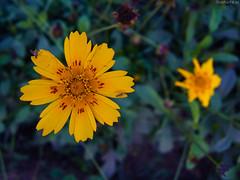 Yellow orange (ShikharF8) Tags: flowers orange yellow closeup nikon pointandshoot p7800 shikharsharmaphotography nikoncoolpixp7800 shikharf8 shikharf8in shikharsharma