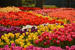 the finale (armykat) Tags: flowers gardens tulips longwoodgardens flowerbeds natureycrap kennettsquarepennsylvania tulipalooza2015