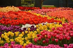 the finale (armykat) Tags: flowers gardens tulips longwoodgardens flowerbeds natureycrap kennettsquarepennsylvania tulipalooza2015