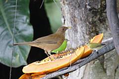Anglų lietuvių žodynas. Žodis clay-colored robin reiškia molio spalvos robin lietuviškai.
