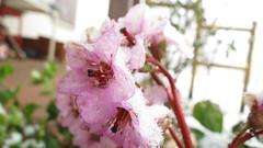 IMG_3969 (MY SECRET WINDOW) Tags: neve bergenia fiore inverno freddo pianta ghiaccio fiocchi saxifragaceae fioritura