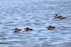 Pink-eared Duck (Malacorhynchus membranaceus) (LauriusV) Tags: familyanatidae orderanseriformes englishpinkearedduck genusmalacorhynchus speciesmalacorhynchusmembranaceus
