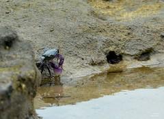 DSC_0005 (RUMTIME) Tags: nature water crab queensland coochie coochiemudlo