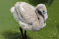 Bb flamant rose (Passion Animaux & Photos) Tags: france bird rose zoo cub flamingo bebe greater oiseau flamant phoenicopterus roseus asson