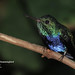 Violet-bellied Hummingbird, Juliamyia julie