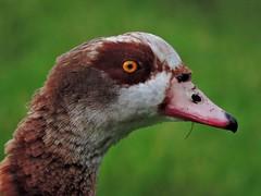 Egyptian goose (PhotoLoonie) Tags: goose egyptiangoose britishwildlife wildlife ukwildlife feathers