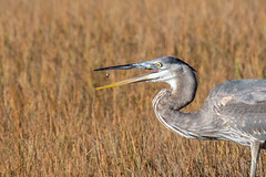 Snack Time (jim sonia) Tags: bird birds usa massachusetts plumisland places greatblueheron