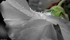 Automne (Noemie.C Photo) Tags: automne automn fleur flower rose vert green plante plant vegetable nature garden jardin gouttes gouttelettes gouttedepluie pluie rain drops droplets blanc white grey gris noir clack