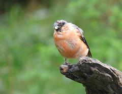 Bullfinch (Peanut1371) Tags: bullfinch finch bird gardenbird pink nationalgeographicwildlife cannockchase