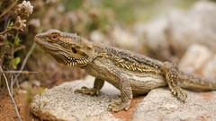Centralian Bearded Dragon (Eduardo_il_Magnifico) Tags: lizard wildlife australia bush animal beardeddragon southaustralia kalabity bimbowrie weekeroo outdoors outback nikond7000 nikon35mmf18